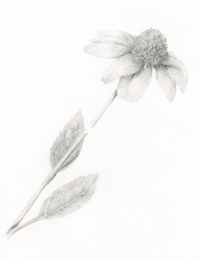 botanical art Echinacea hazel buys