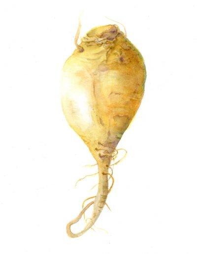 botanical artist hazel buys gold beet