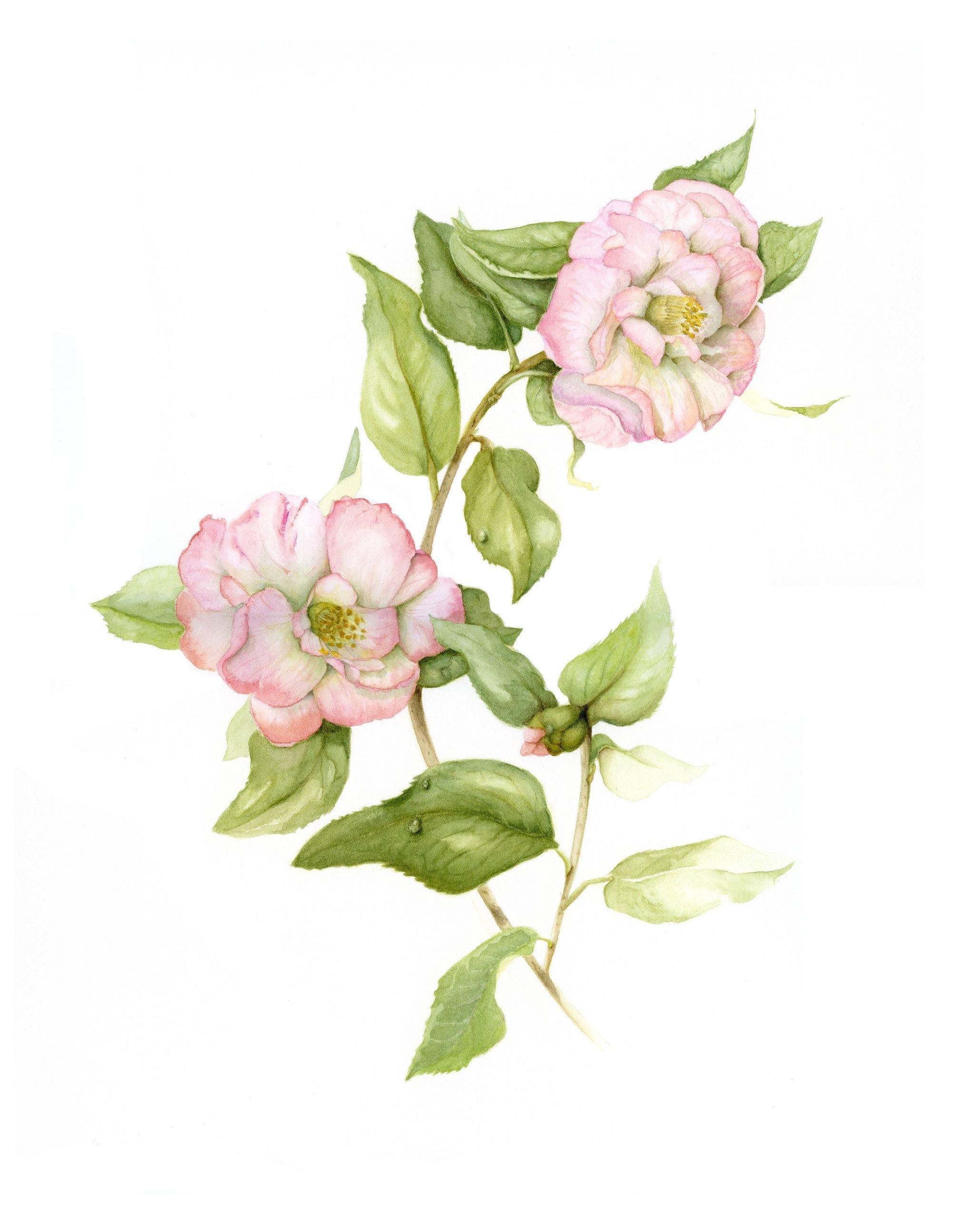 hazel botanical art