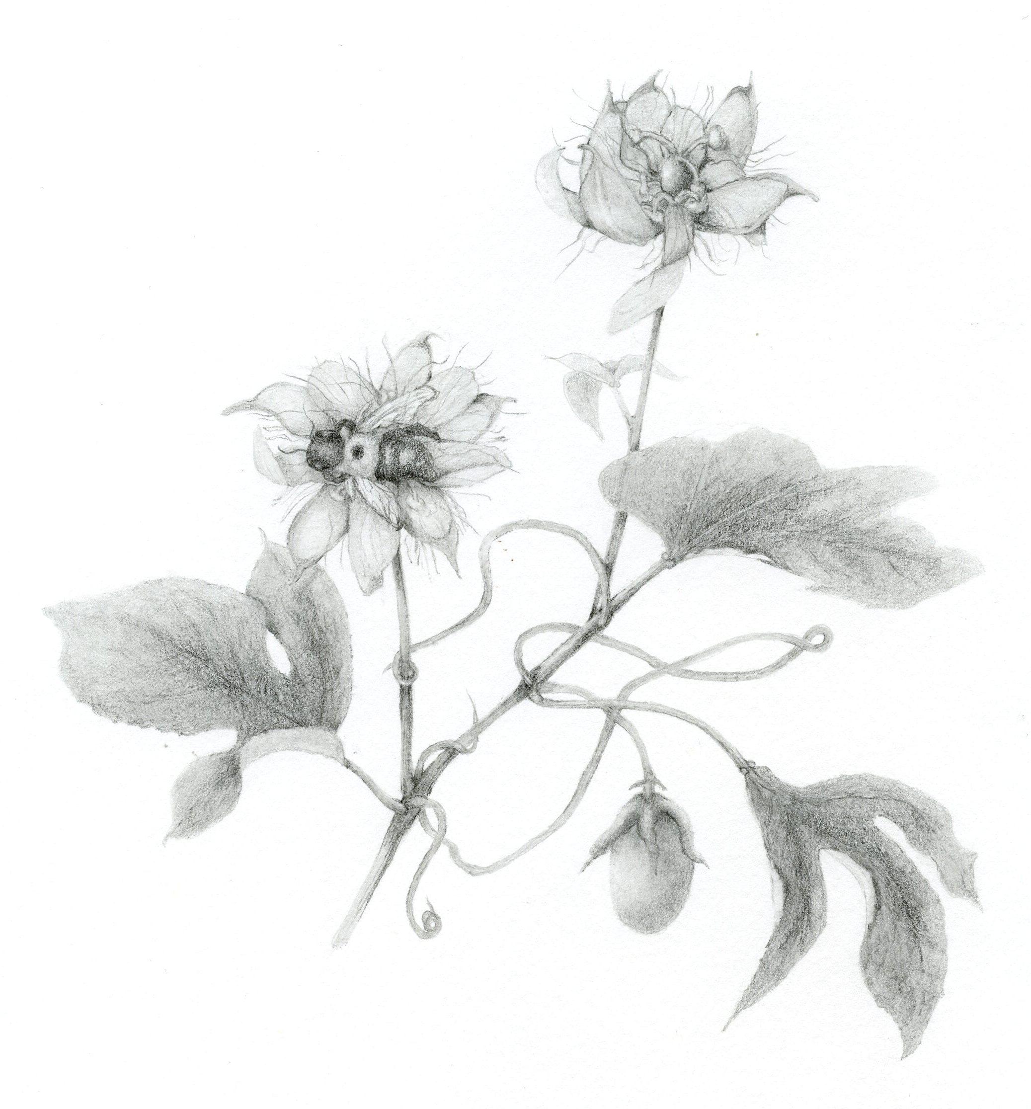 botanical art hazel buys