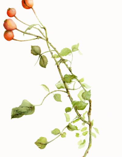 Botanical art rose hips hazel buys