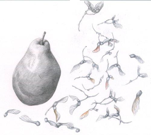 brazil nut graphite drawing